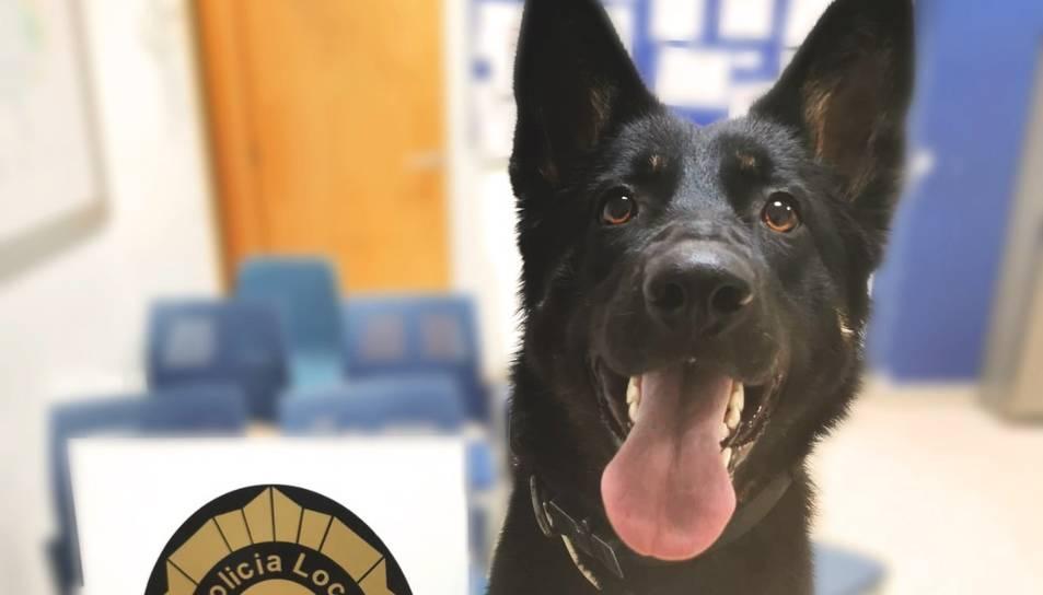 Un dels gossos de la unitat canina de la policia local d'Amposta amb els estupefaents decomissats al detingut.
