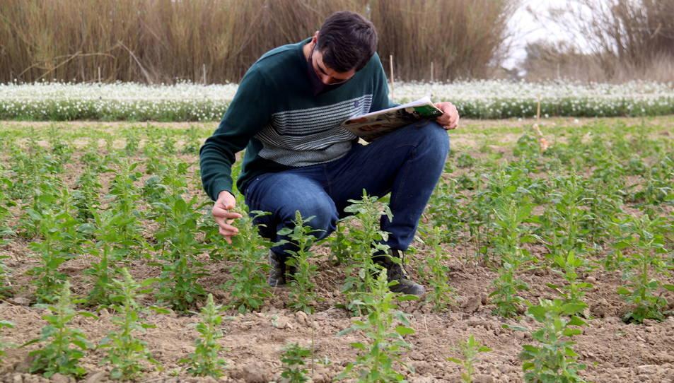El director tècnic d'Agroserveis.cat, Alfred Palma revisant la plantació experimental de quinoa a la finca del Capità del Deltebre.