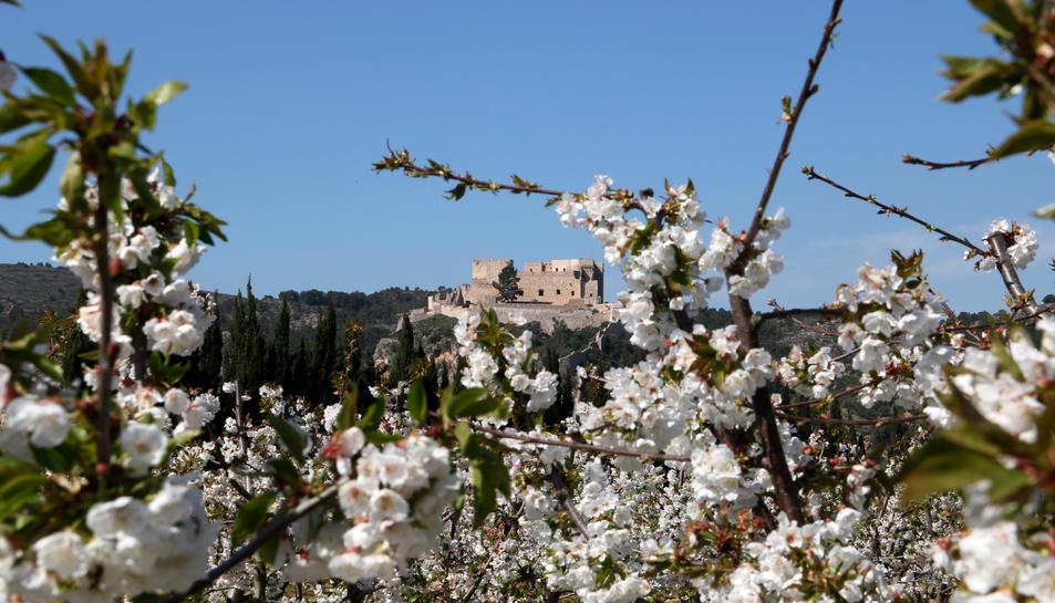 Les flors de cirerer i el castell de Miravet al fons.