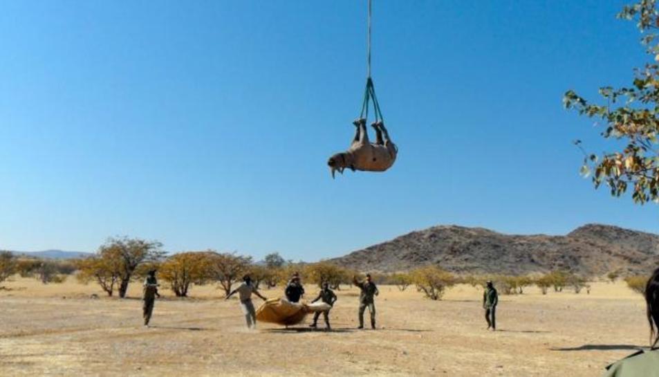Els investigadors traslladant un rinoceront.