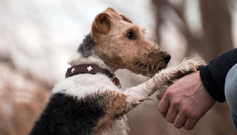 Un gos donant la poteta al seu amo.