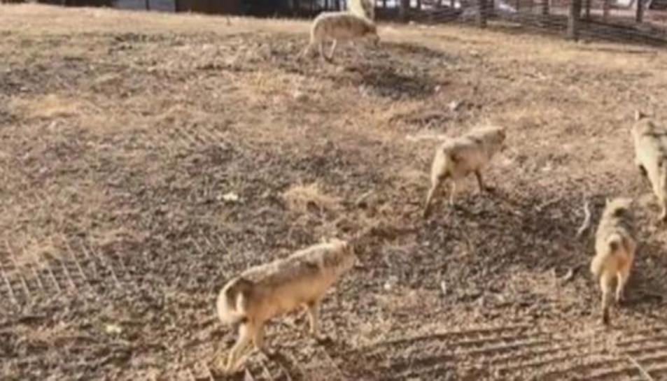 La manada de llops, després d'assassinar al gos.