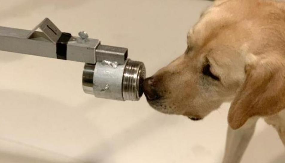 Ponxo, un llaurador retriever dos anys i mig, va ser un dels gossos entrenats en l'estudi per a detectar el coronavirus ensumant mostres d'orina