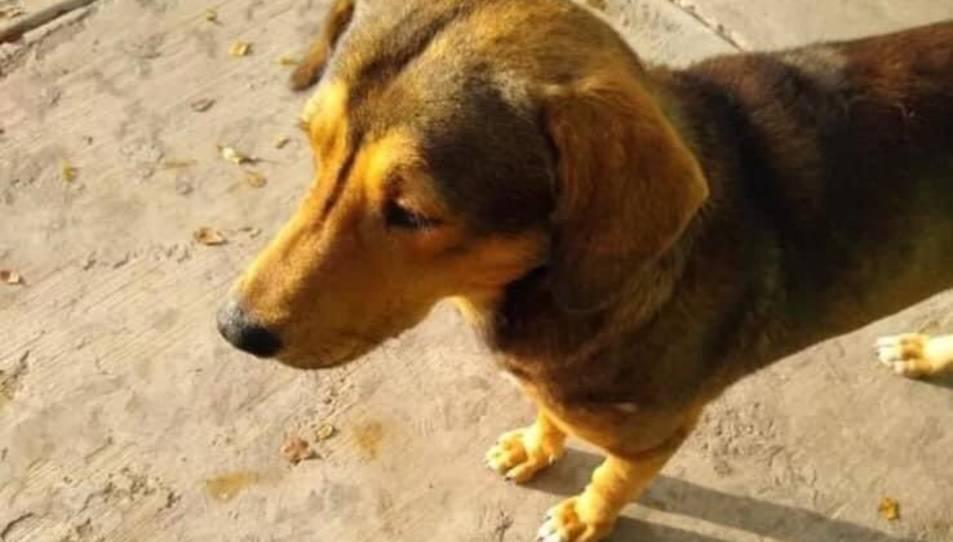 Imatge del gos que van matar a Mèxic.