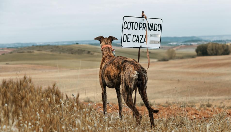 Imatge d'arxiu d'un gos de caça.