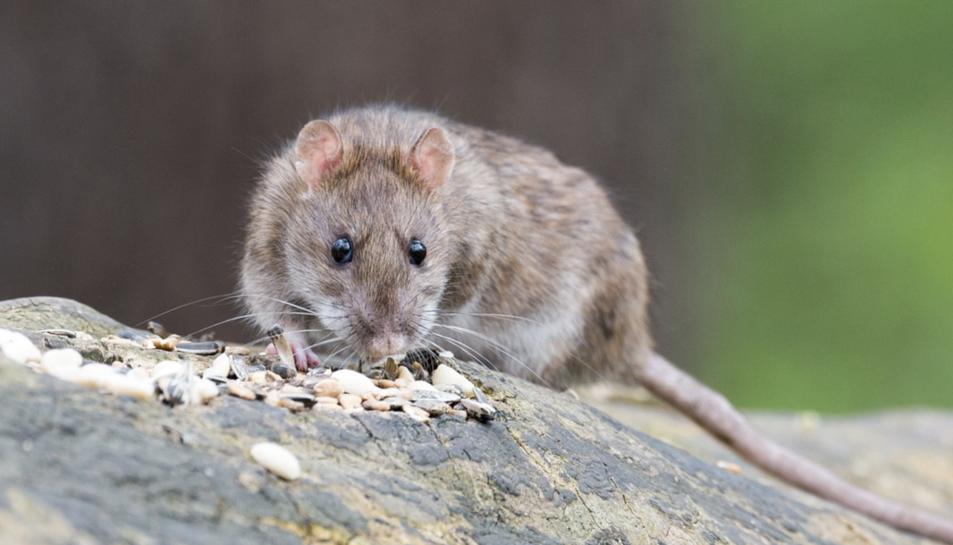 Una rata en una imatge d'arxiu.
