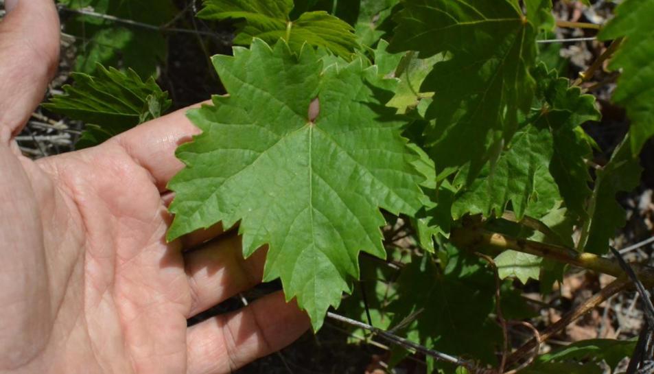 Primer pla de les fulles de la nova varietat 'majorera' descoberta per la URV a l'illa de Fuerteventura.