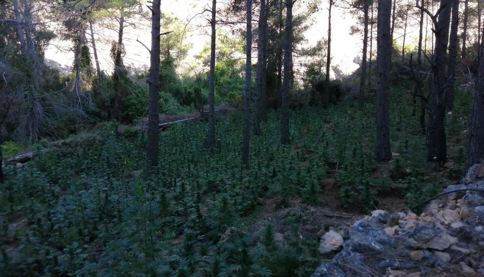 Pla general de les plantes de marihuana localitzades en una zona de difícil accés d'Horta de Sant Joan.
