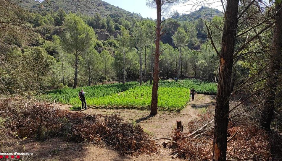 Imatge d'una de les plantacions de marihuana intervingudes pels Mossos.