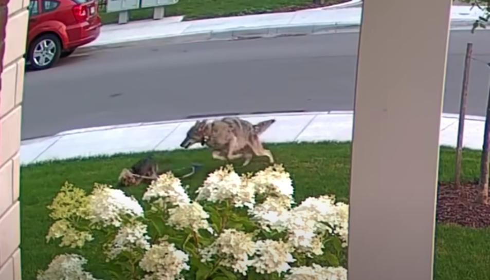 Captura del vídeo on el coiot ataca la gossa
