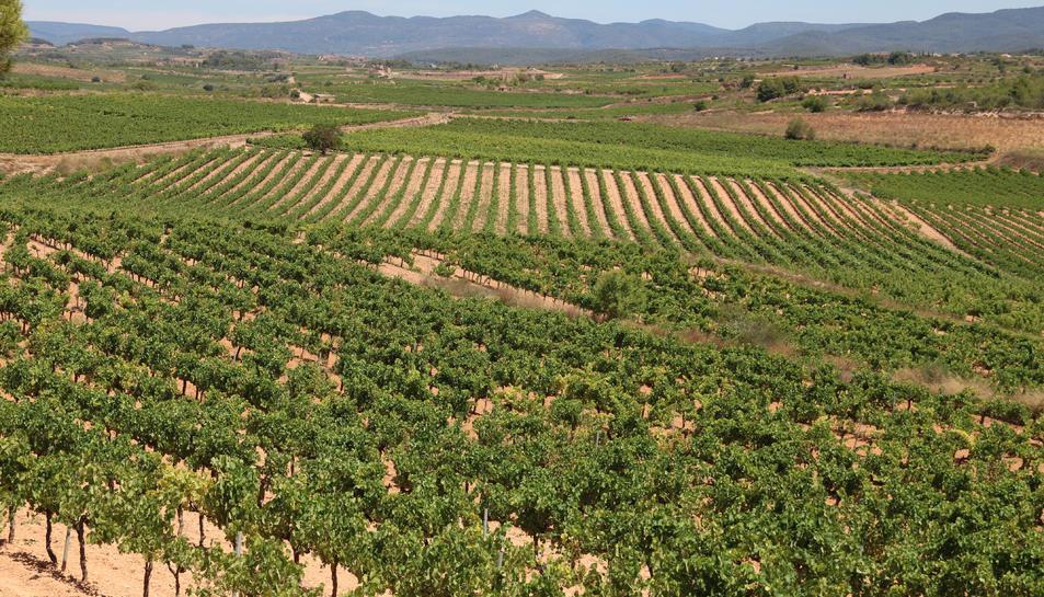 Panoràmica de vinyes de la DO Tarragona, a la comarca de l'Alt Camp, amb la muntanya de Miramar al fons.