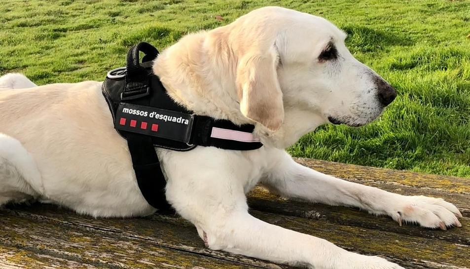 Imatge del Luke, que pertanyia a la unitat canina dels Mossos a Tarragona.