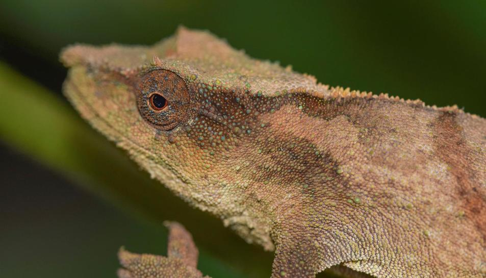 El camaleó pigmeu de Chapman (rhampholeon chapmanorum), una rara espècie endèmica de Malaui que es temia extingida en la naturalesa a causa de la destrucció del seu hàbitat natural.