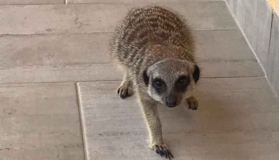 El suricata que ha aparegut aquest matí a Cambrils.