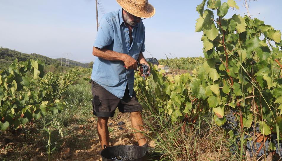 Pla obert d'un viticultor collint raïm en una finca de Bellmunt del Priorat.