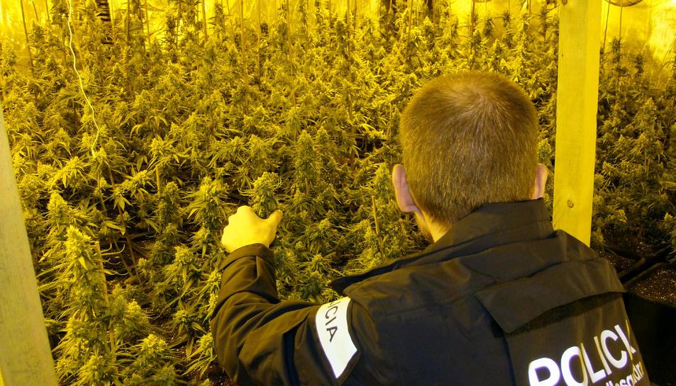 Imatge d'arxiu de les plantes de marihuana localitzades a la nau de l'Ametlla de Mar.
