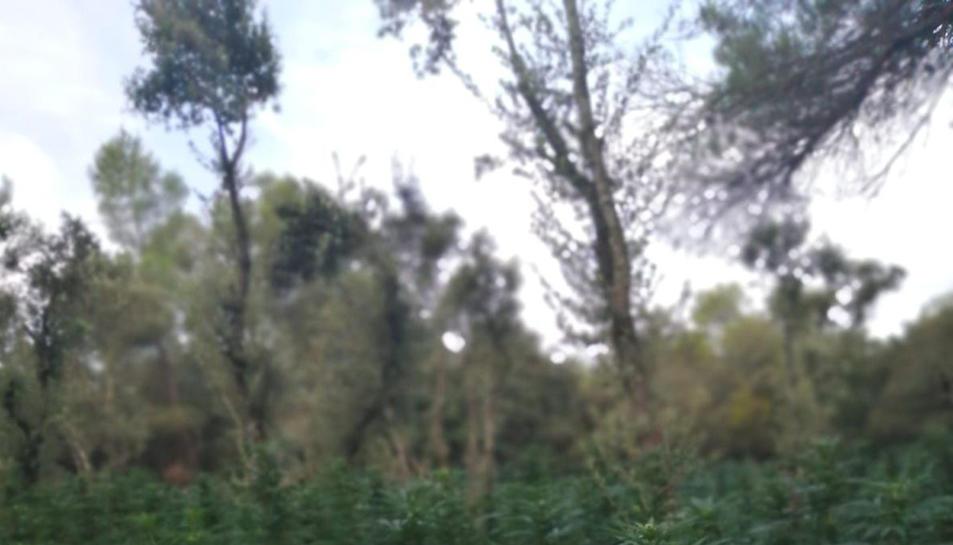 La plantació de marihuana localitzada al terme municipal de Vimbodí i Poblet.