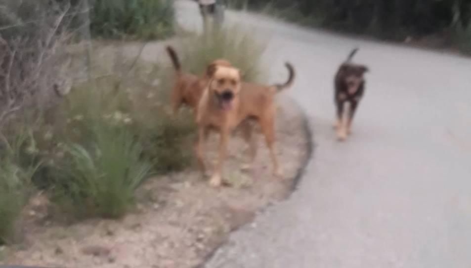 Imatge dels gossos que van atacar la menor.
