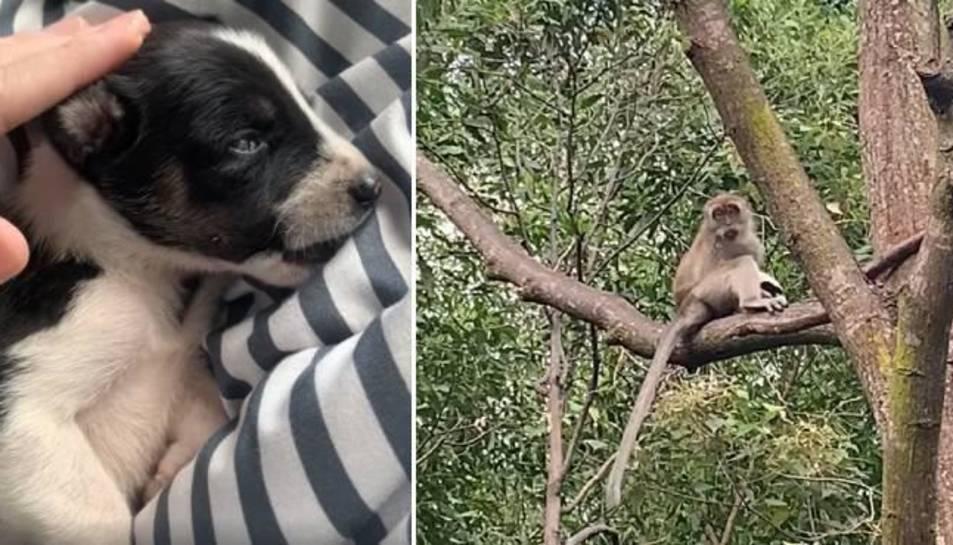 El gos i el mico.