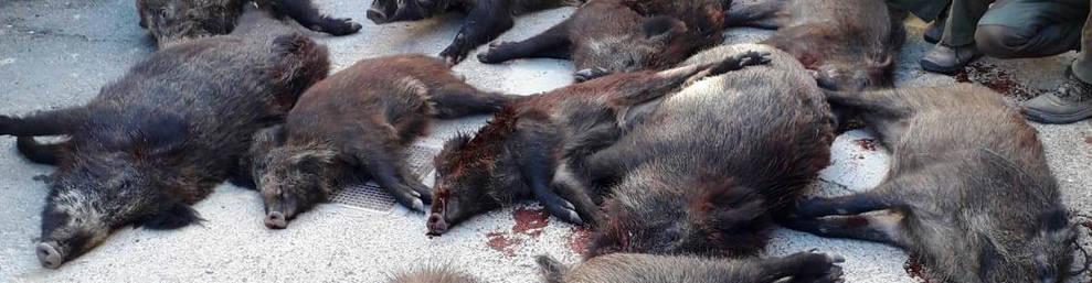 Imatge de senglars abatuts per caçadors.