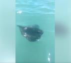 Un pez raya se ha visto nadando a pocos metros de la cerca de la playa del Francàs a Coma-ruga.