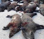 Imagen de jabalíes abatidos por cazadores.