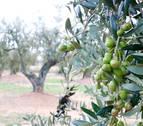 Unes olives arbequines d'oliveres de la DOP Siurana a la Selva del Camp.