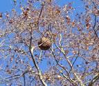 Un nido de avispa asiática encima de un árbol.