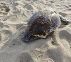 Imatge de la tortuga morta.
