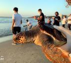 Una de les tortugues careta alliberada a la platja de la Pineda.