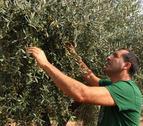 Un pagès comprovant la qualitat de les olives en un camp d'oliveres.
