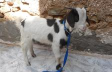 Multen una veïna de Cubelles per tenir una cabra en un pis