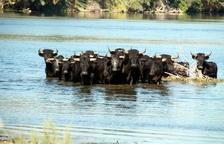 Els ecologistes amenacen de denunciar el Govern si no treu els bous de l'Illa de Vinallop