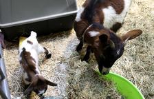 El 8º Bestial asiste al nacimiento de una cabra que se llamará Fira