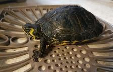 Comissen a Cambrils vuit tortugues d'una espècie exòtica i invasora