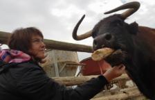 Movilización ciudadana para evitar el sacrificio de la vaca tortosina Margarita