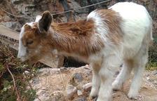 Un ejemplar único de cabra de cuatro cuernos vive en un centro de Farena