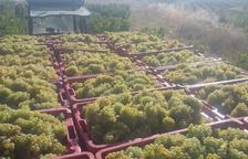 La DO Tarragona inicia la verema amb bones previsions de qualitat del raïm