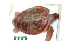 L'exemplar de la tortuga babaua pesa 38 quilos i medeix