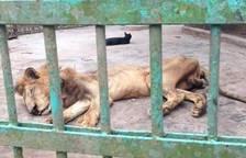 Un león en estado moribundo en Bangladesh indigna a las redes