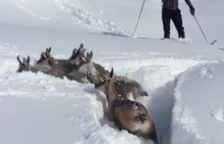 Un grupo de rebecos atrapados en la nieve es rescatado por unos esquiadores