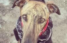 La historia del galgo KO o los robos de perros en el Camp de Tarragona