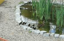 Una familia de patos se instala en la escuela Baltassar Segú de Valls
