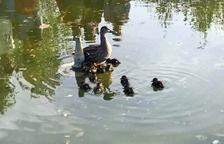 Rescaten onze ànecs acabats de néixer que no podien sortir d'un llac de Calafell