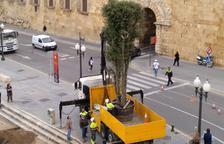 Plantan una encina en el lugar donde había la emblemática melia del paseo de Sant Antoni