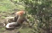 Impressionant lluita entre un gos i una anaconda