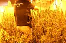 Además de desmantelar la plantación, los agentes confiscaron 1 kilo de ovillo de marihuana.