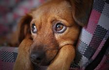 Consells per calmar el teu gos quan tirin petards per les revetlles