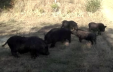 Nueva Eucària cree que el Ayuntamiento utilizará el informe de la UAB para «exterminar» los cerdos vietnamitas de SPiSP