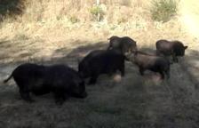 Un grup de porcs senglars a Sant Pere i Sant Pau.